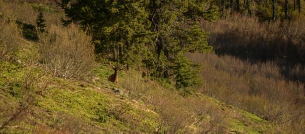 MT Wild-elk