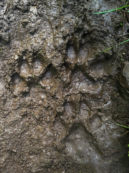 MT Wild-wolf